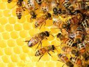 Is Honey Bee Poop